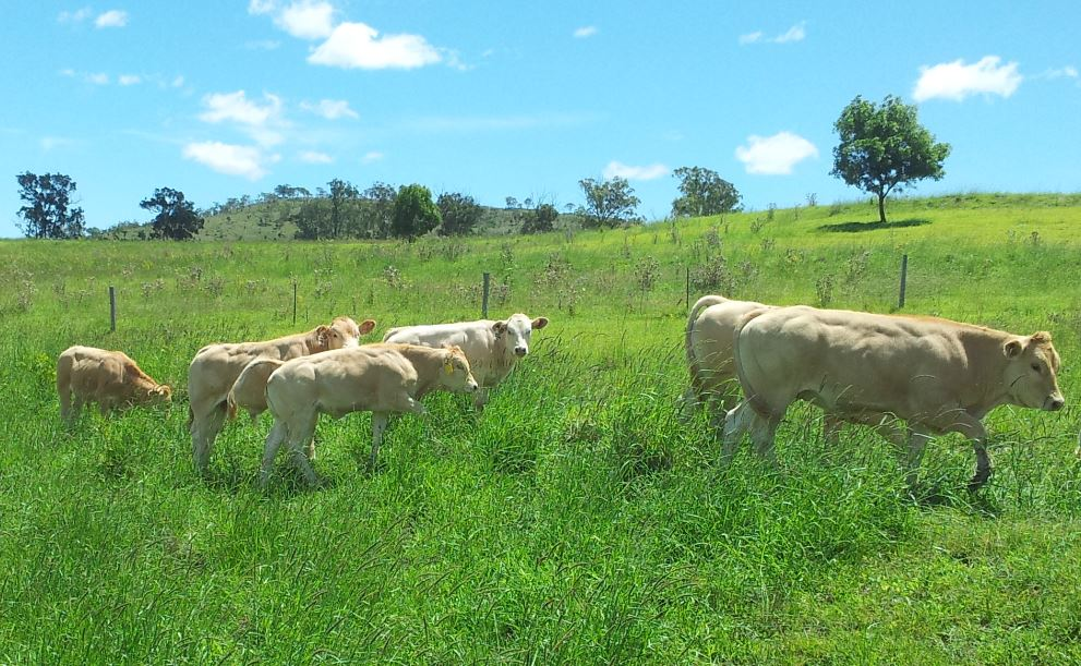 blonde-daquitaine-cattle-aus